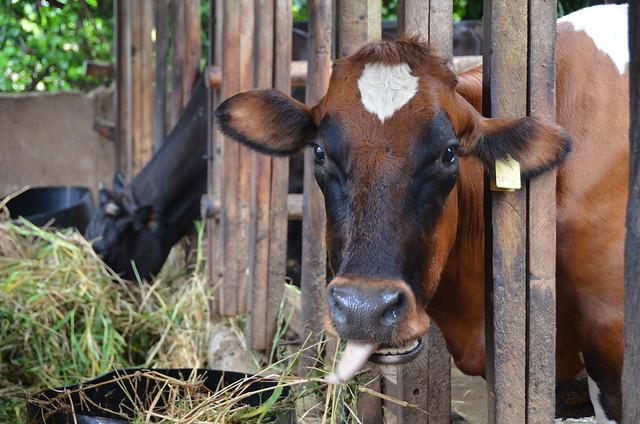 Dairy cow in Tanga, Tanzania