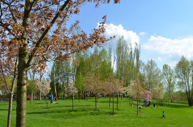 Berlin Cherry Blossom Festival Kirschbluetenfest Gaertens der Welt Erholungspark Marzahn_green field with cherry blossoms trees blue sky