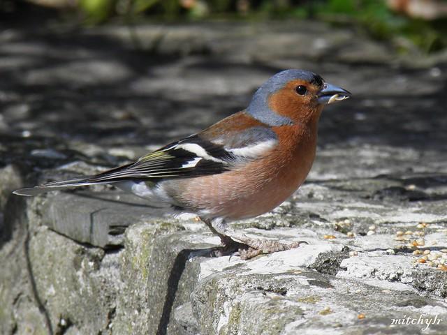 Male Chaffinch 2