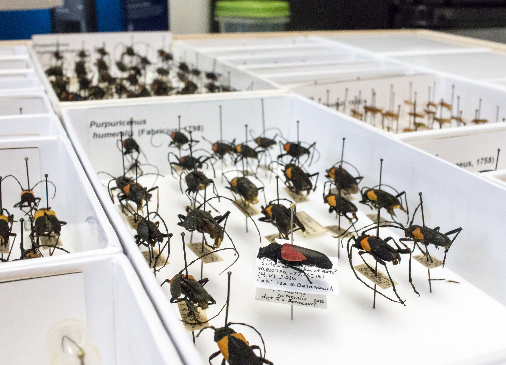 A unit tray of Cerambycidae beetle s of the species Purpuricenus humeralis. A new specimen stands out - the white of the information label stands out among the faded labels of the neighboring beetles.
