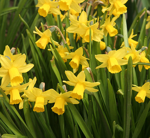 Daffodil - Spring at the Ballard Locks - Seattle