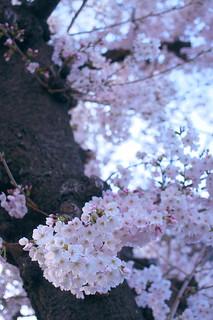 Kawachi cherry