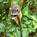 Crazy skinny racoon :). Cahuita NP, Costa Rica 22APR12