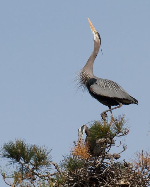 Nesting Herons