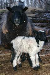 Flashy ram lamb