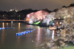 Lighted up cherry blossoms / 夜桜ライトアップ