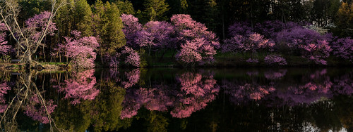Lake Marmo Redbuds Panoramic