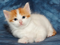 british semi-longhair(0.0), burmilla(0.0), turkish angora(0.0), birman(0.0), domestic long-haired cat(1.0), nose(1.0), exotic shorthair(1.0), animal(1.0), kitten(1.0), napoleon cat(1.0), small to medium-sized cats(1.0), pet(1.0), ragdoll(1.0), cat(1.0), carnivoran(1.0), whiskers(1.0), domestic short-haired cat(1.0),