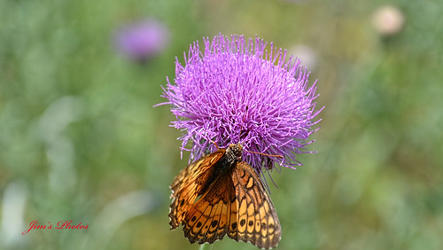 Texas Thistle (Cirsium Texanum)
