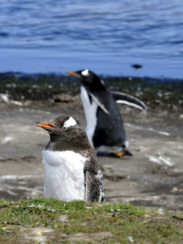 Gentoo Penguins by RV Bob