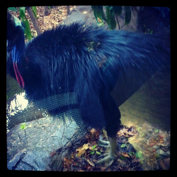 The magnificent Southern Cassowary Bird at Wild Life Sydney