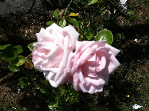 Nantucket flower 2