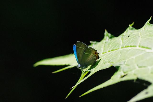 Favonius jezoensis