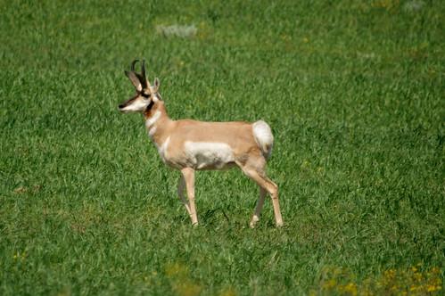 canada geotagged pentax wildlife antelope saskatchewan woodmountain k20d pentaxk20d gmpentaxfan