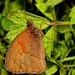 Possibly Meadow Brown?