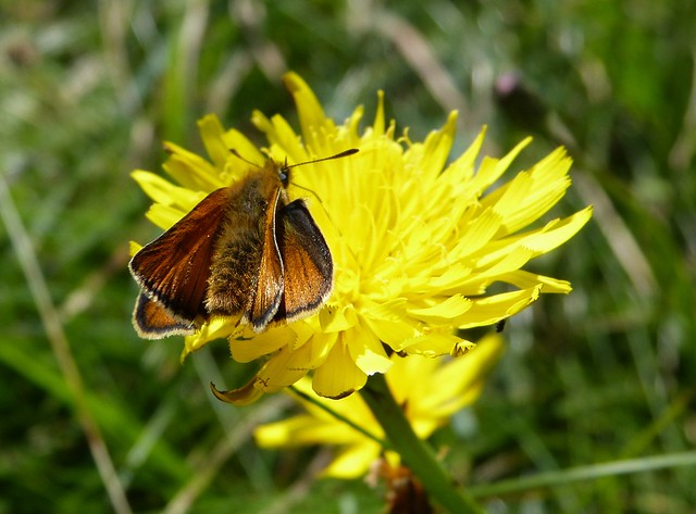 27630 - Large Skipper, Burry Holms