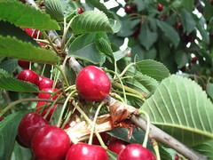 evergreen(0.0), shrub(0.0), flower(0.0), crataegus pinnatifida(0.0), schisandra(0.0), rose hip(0.0), hawthorn(0.0), lingonberry(0.0), cherry(1.0), berry(1.0), acerola(1.0), branch(1.0), plant(1.0), produce(1.0), fruit(1.0), food(1.0),