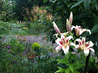 Lilium 'Nymph' in Landwave Gardens
