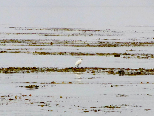 egret standing on the kelp bed