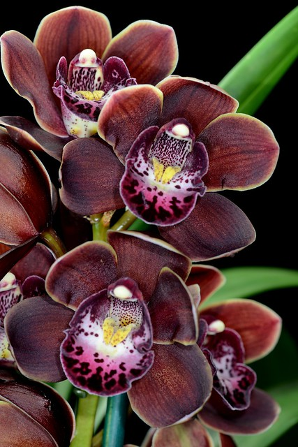Cymbidium Mini Wonder 'Chocolate'