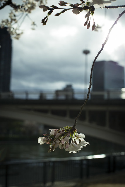 Sakura along the rever