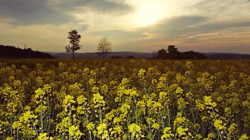 field rural thüringen rape thuringia raps