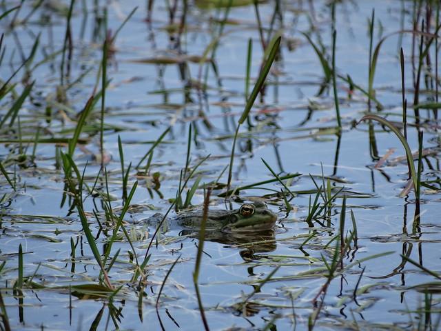 Rana en la laguna de Lamas