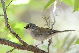 Yellow-eyed Junco (Junco phaeonotus), Madera Canyon, Arizona