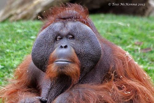 Orangutan 093 copy