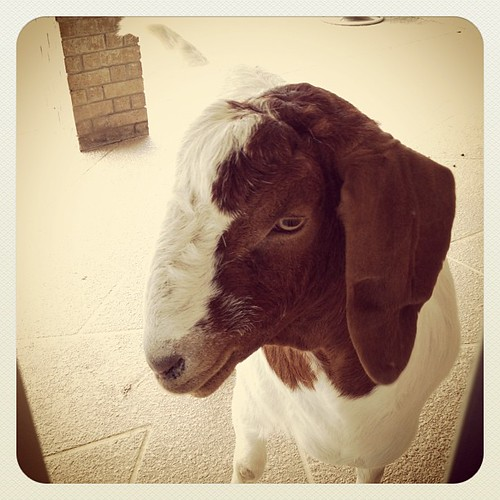 Gus the Goat by jls_2359