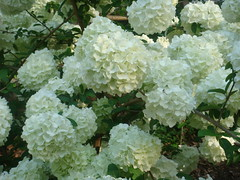 annual plant, shrub, flower, guelder rose, plant, viburnum,