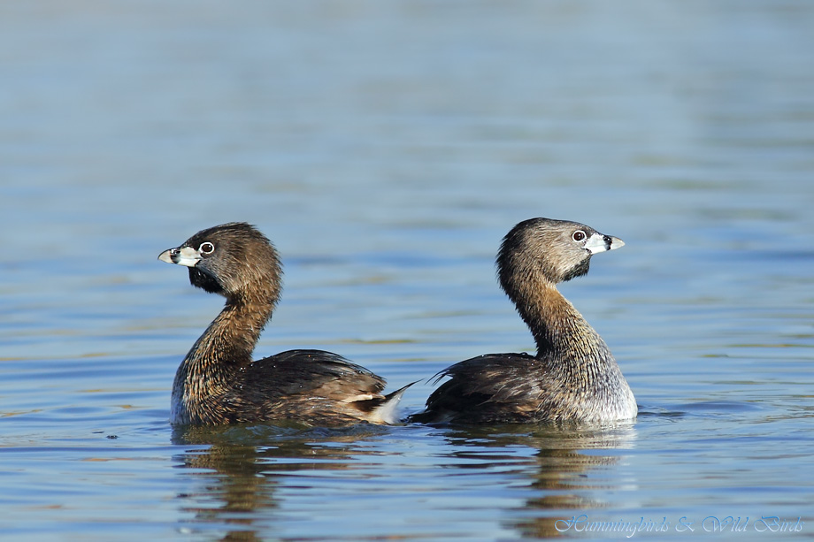 Pied-billed Grebe 020312-17