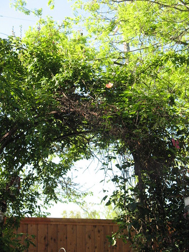 arbor with mockingbird nest