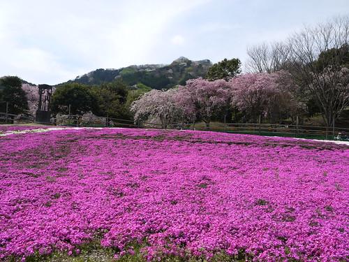 20120415 松川湖 芝桜 (10)
