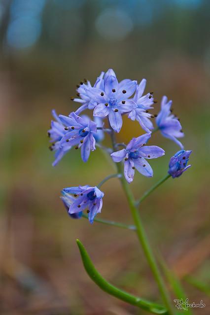 Flores do Pinhal