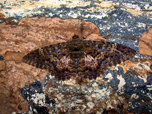 southamerica fauna bug insect rainforest colombia moth lepidoptera noctuidae blackwater whitesand eastern invertebrate entomology mitu blackwitch amazonbasin owletmoth neotropics letisorcynia marbledwitch vaupesdepartment