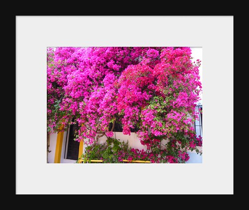 Bougainvillea in Spain by Ginas Pics