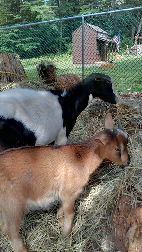 More goats