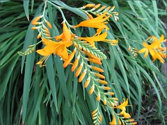Watsonia-like flowers