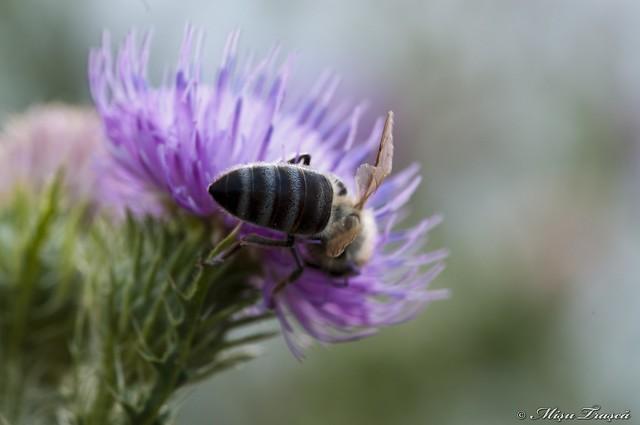 polenizare