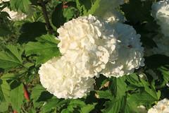 peony(0.0), hydrangea(1.0), shrub(1.0), flower(1.0), guelder rose(1.0), plant(1.0), flora(1.0), hydrangeaceae(1.0), petal(1.0),