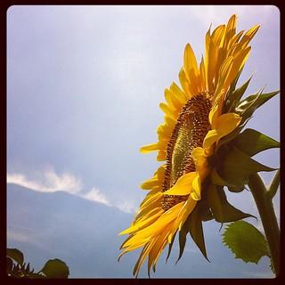 をぉっ立派な向日葵。畑は夏景色。