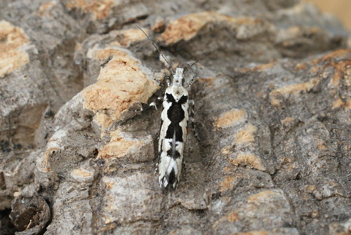 Ypsolopha sequella - the Playboy Bunny Moth