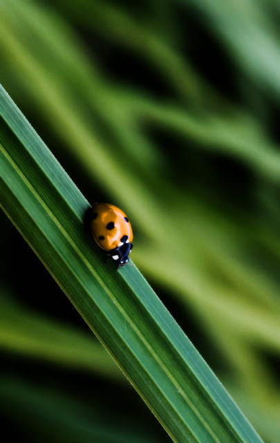 Golden Ladybug | Flickr - Photo Sharing!
