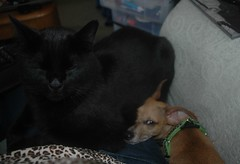 Giant Cat, Italian greyhound/Chihuahua