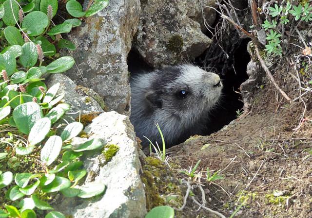 marmot-hole
