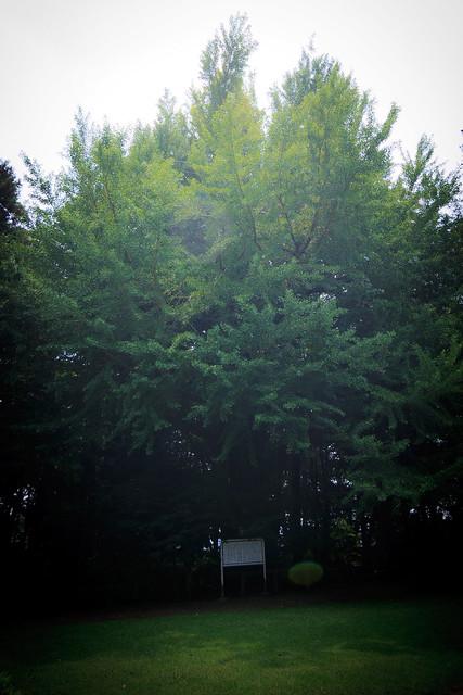 #38 The Giant Ginkgo of Shiroyama Park
