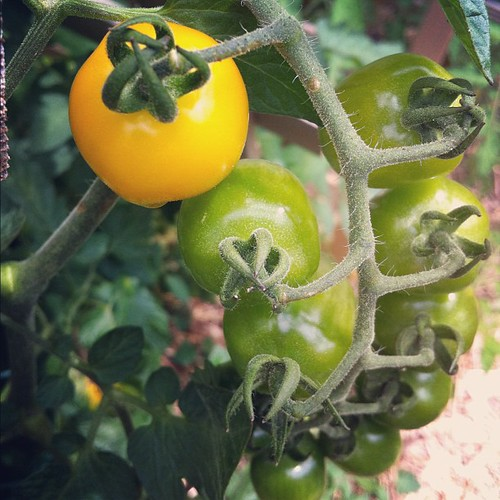 heirloom tomatoes #organicgarden #urbangarden #lughnasadh #maine