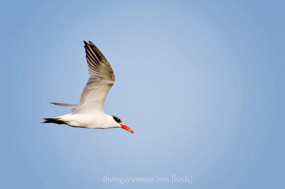 072412_02_bird_royalTern