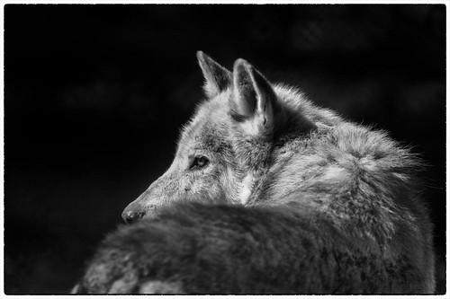 Grey wolf by Desmac1